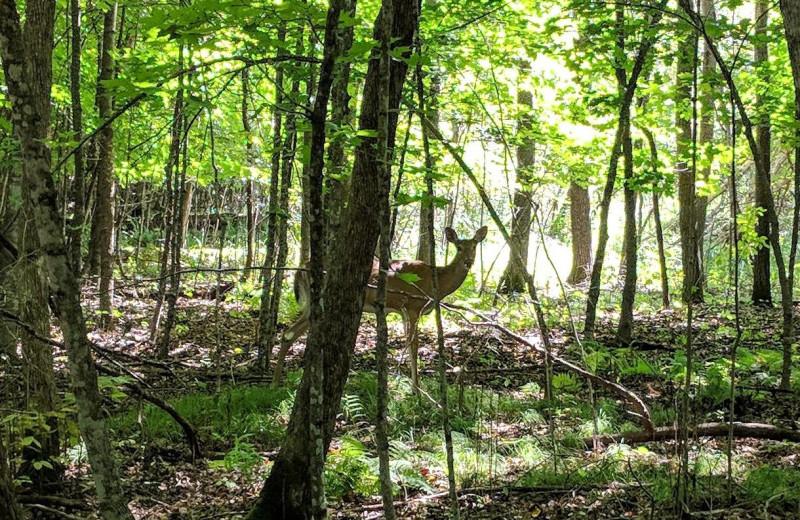 Deer at Woodlawn Resort.