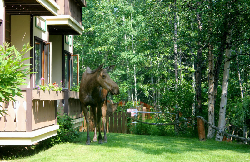 Moose at Soldotna B&B Lodge and Alaska Fishing Charters.