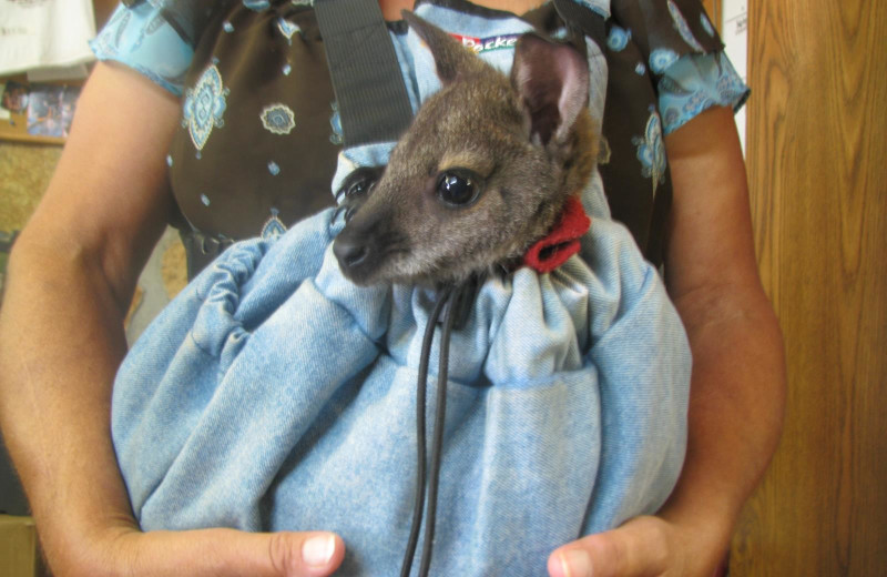 Wallaby at The Exotic Resort Zoo.