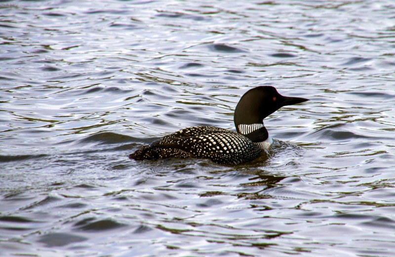 Loon at Manotak Lodge.
