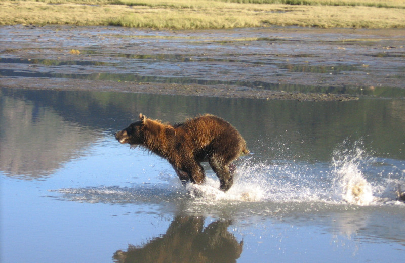 Bear running at Great Alaska Adventure Lodge.