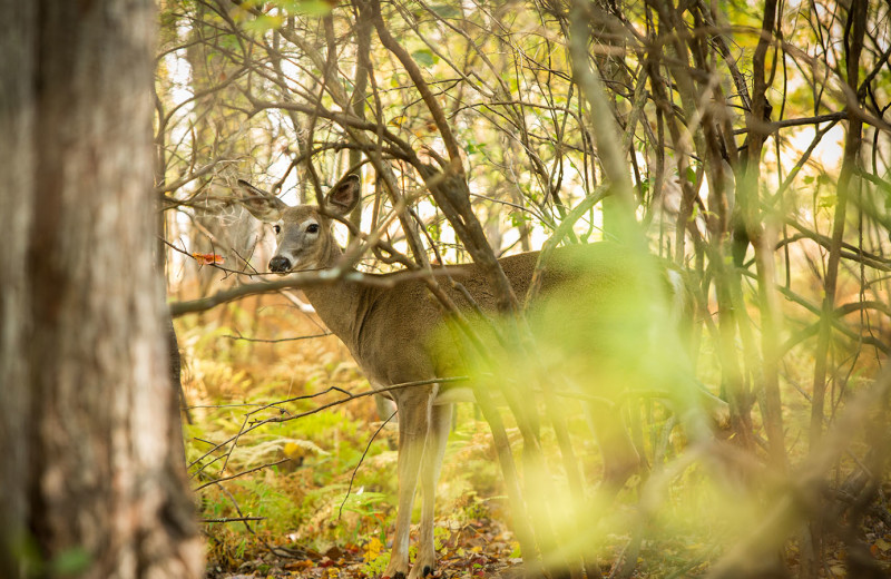 Deer at Woodloch Resort.