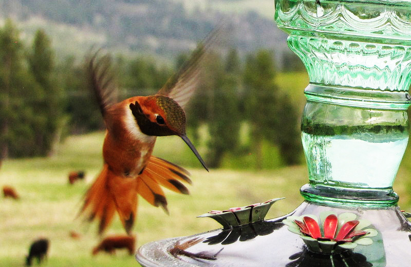 Hummingbird at Gentry River Ranch.
