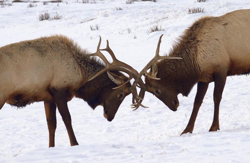Elk at Wyoming Inn of Jackson Hole.
