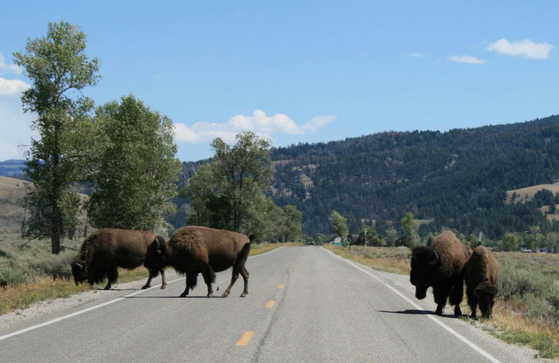 Roadblock near Yellowstone Under Canvas