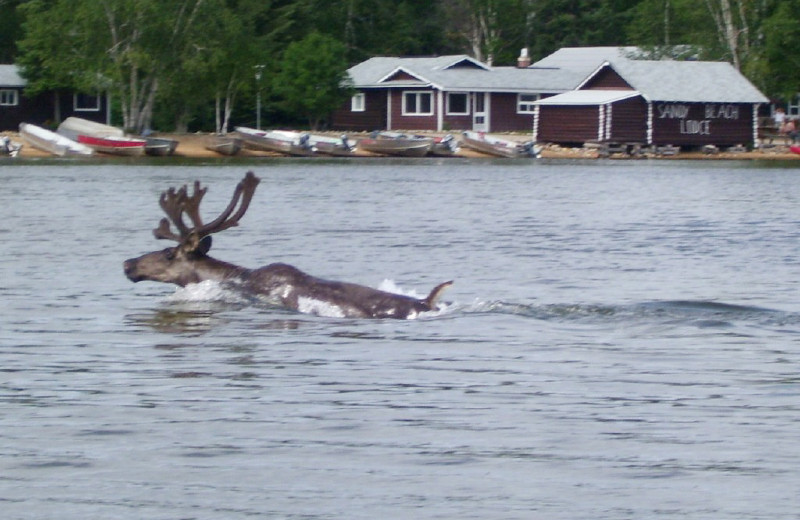 Moose swimming at Sandy Beach Lodge.