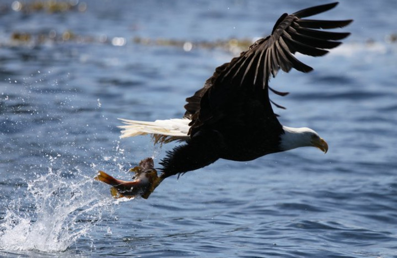 Eagle catching fish at Shearwater Resort & Marina.