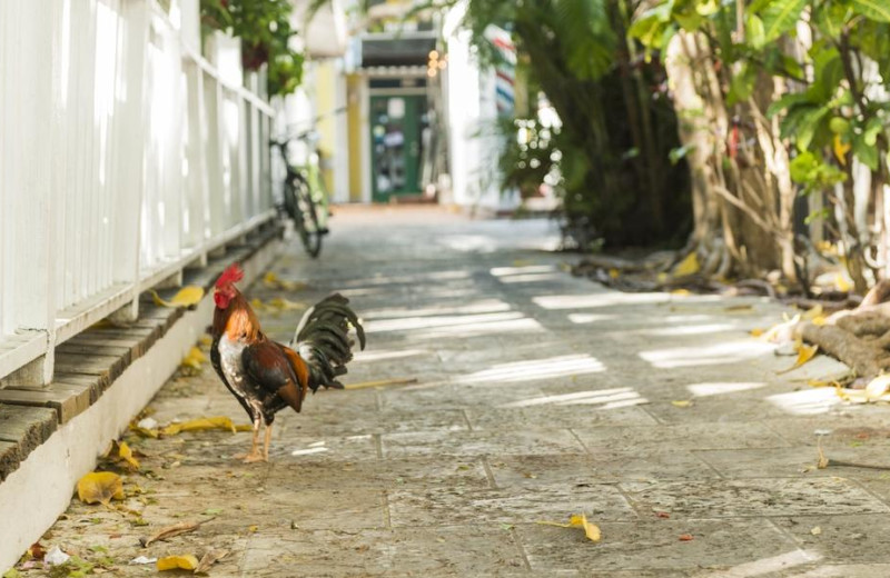 Chicken at Rent Key West Vacations.