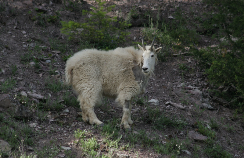 Mountain Goats are a common site around the park