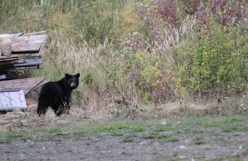 Black bear at Tyee Lake Lodge.