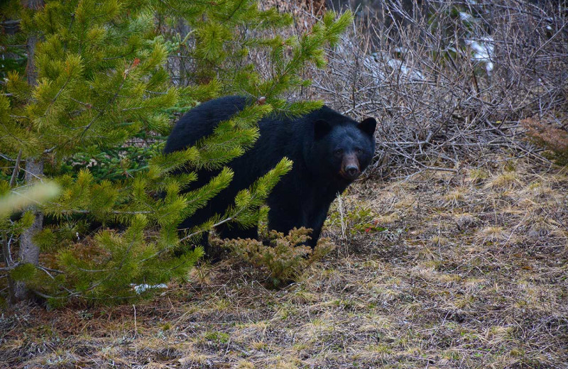 Black bear at Johnston Canyon Lodge & Bungalows.