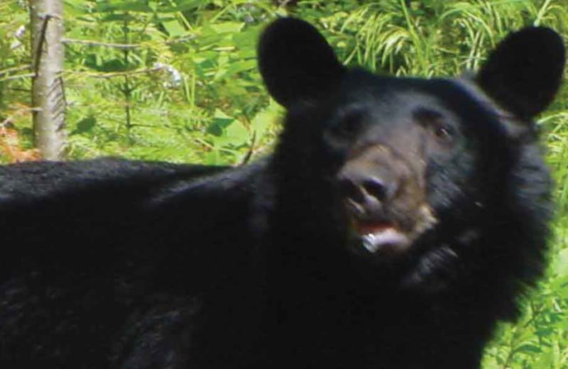 Bear hunting at Fishing Pipestone Point Resort.