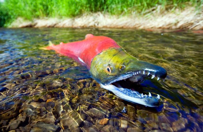 Salmon fishing at Painter's Lodge.