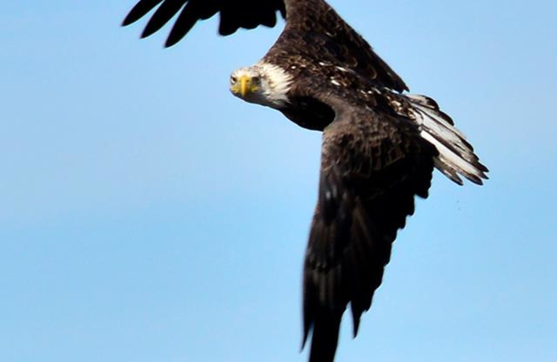 Watch a bald eagle nest, eaglets fledgling, right off the sandy beach on international Lake Wallace at Jackson's Lodge, Canaan, Vermont's remote Northeast Kingdom.