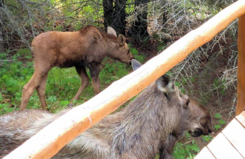 Moose at Bear Paw Adventure.