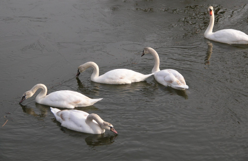 Swans at The Lighthouse Lodge.