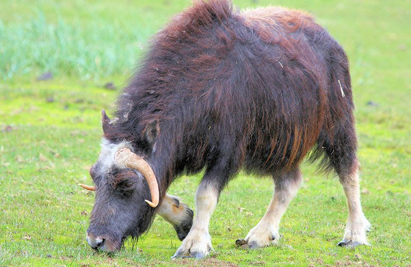 Musk ox at Bear Paw Adventure.