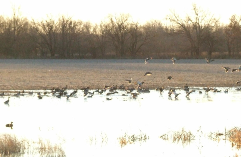 Ducks at Hickory Creek Outfitters.