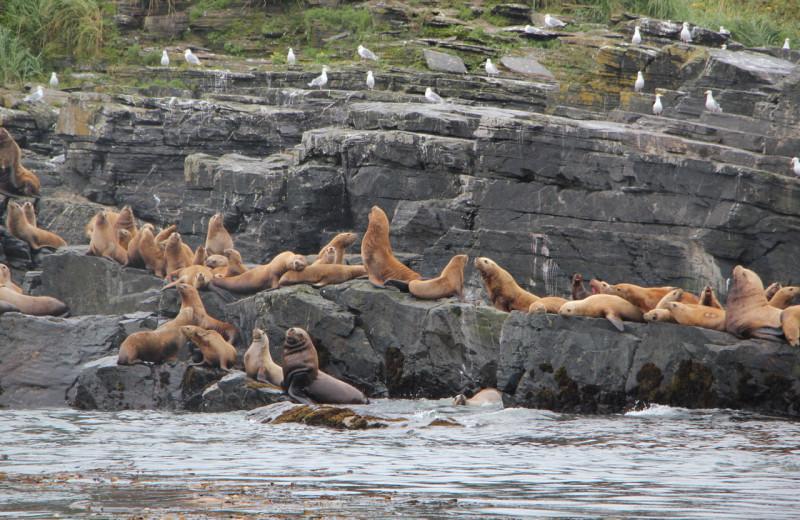 Seals at Afognak Wilderness Lodge.