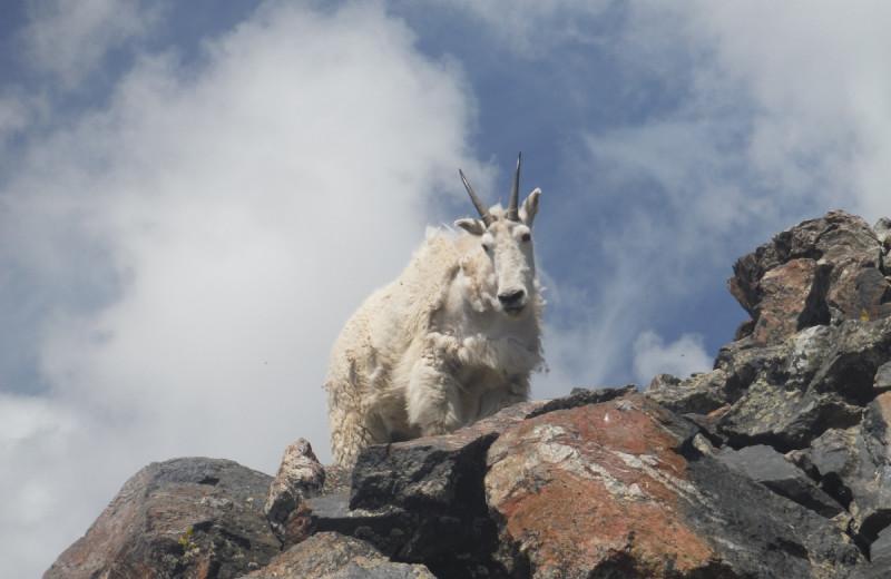 Goat at Tumbling River Ranch.