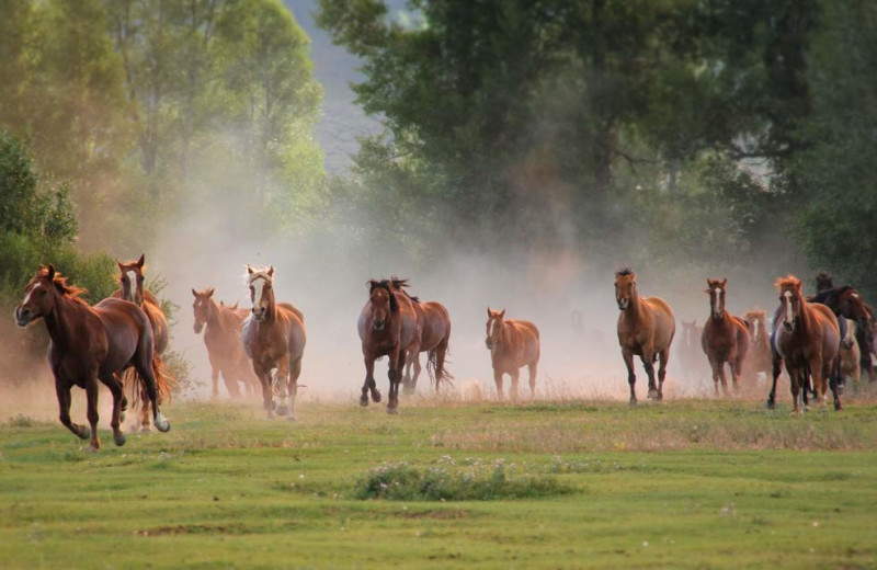 Horses running at Goosewing Ranch.