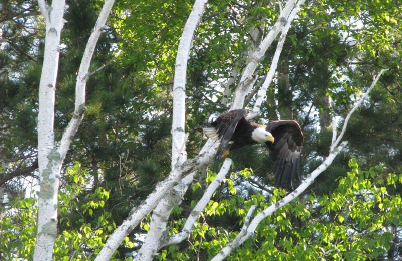 Eagle at Northland Lodge.