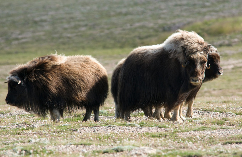 Musk ox at Plummer's Arctic Fishing Lodges.