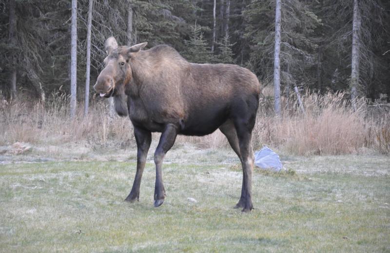 Moose at Eagles' Rest Cabins.