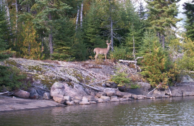 Deer at Rainbow Point Lodge.