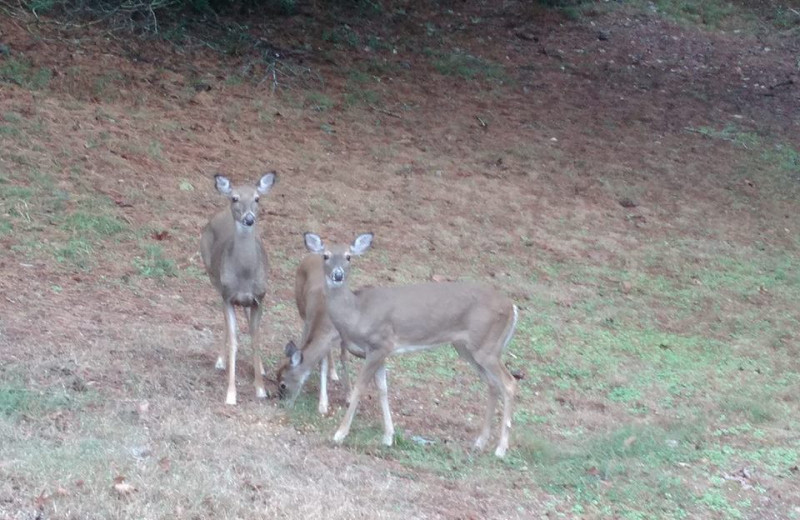 Deer at The Lookout Lodge.