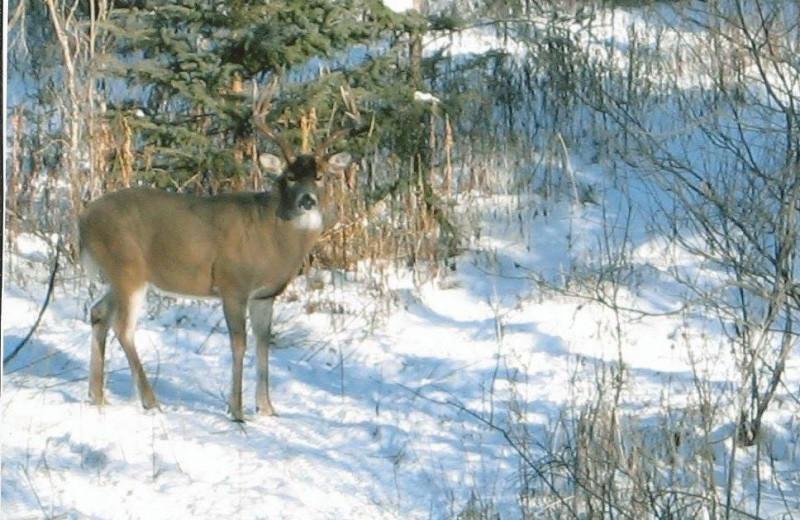 Deer at Dahl Creek Outfitters.