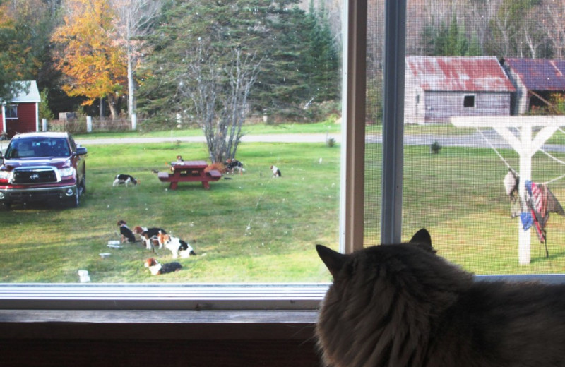 Kitty watching over yard full of leashed beagles waiting to go rabbit hunting in Essex County, Canaan, Vermont's Northeast Kingdom.