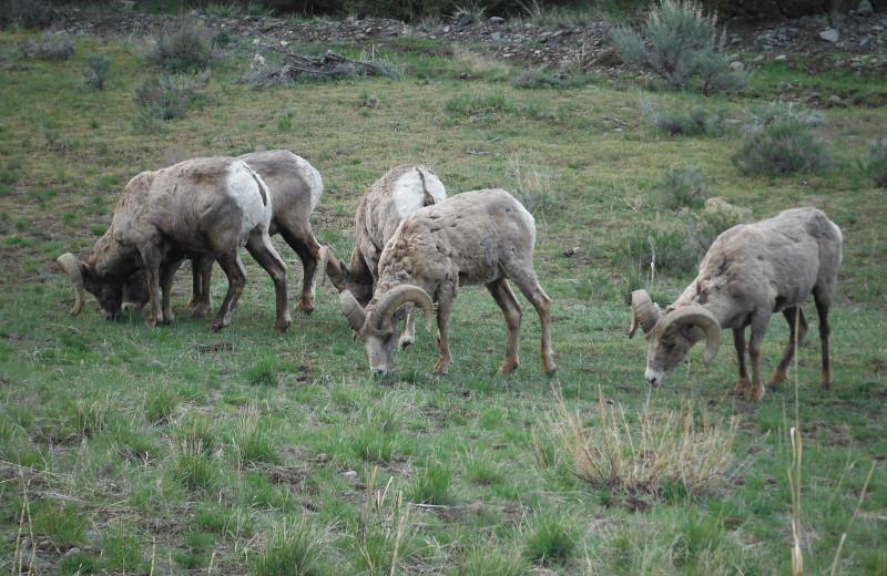 Sheep at Gentry River Ranch.