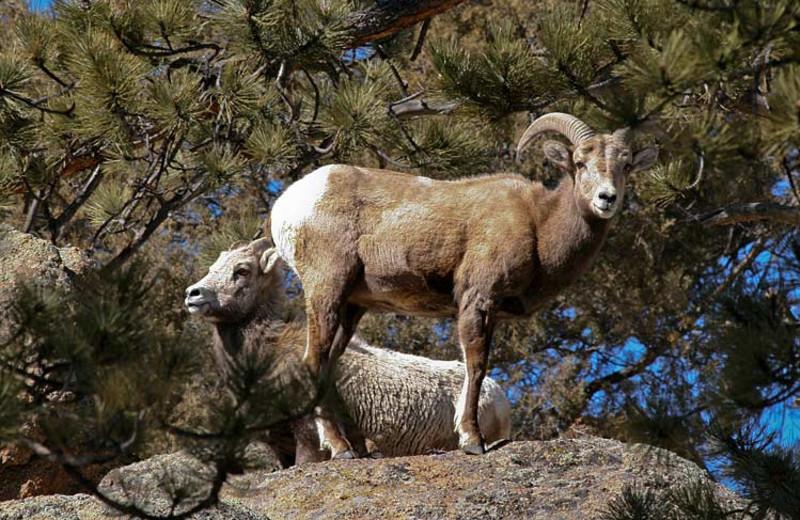Sheep at Woodlands On Fall River.
