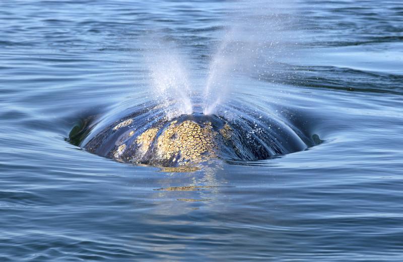 Whale watching at Adobe Resort.