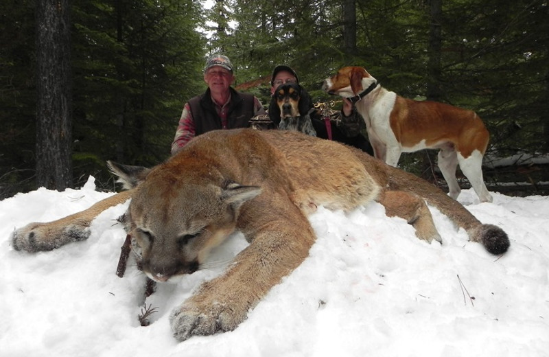 Mountain lion hunting at Silver Spur Outfitters.