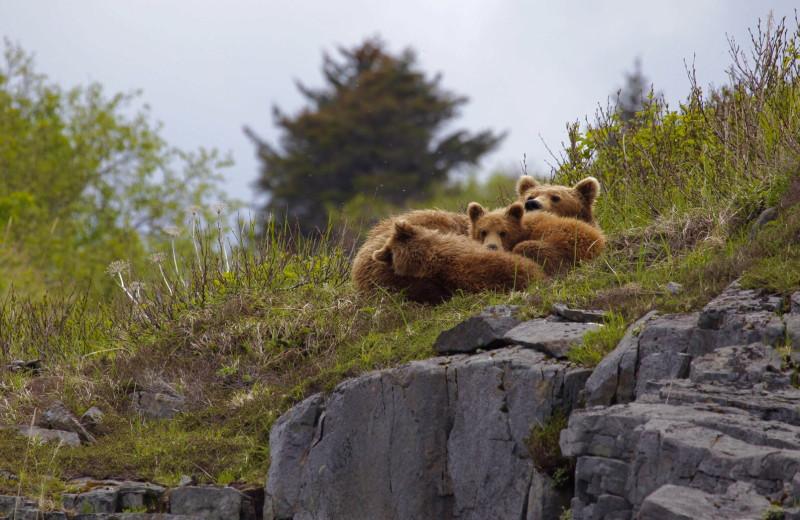 Bears at Katmai Wilderness Lodge.