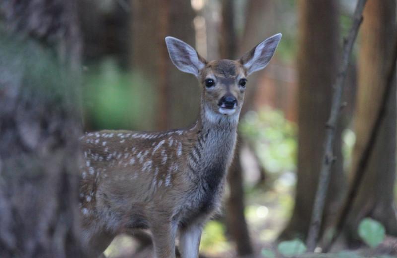 Deer at Blue Vista Resort.