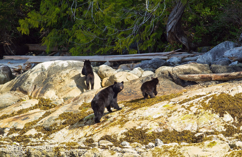 Bears at Nootka Wilderness Lodge.