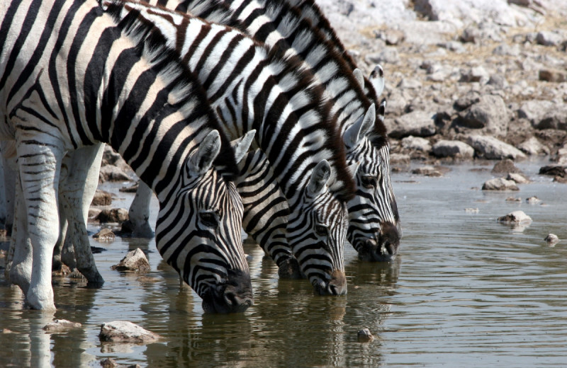 Zebras drinking at The Exotic Resort Zoo.