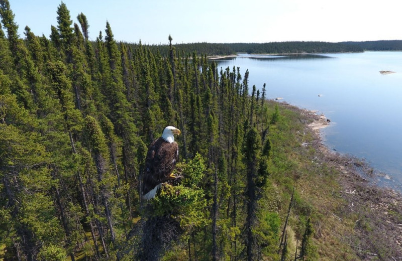 Eagle at Arctic Lodges.
