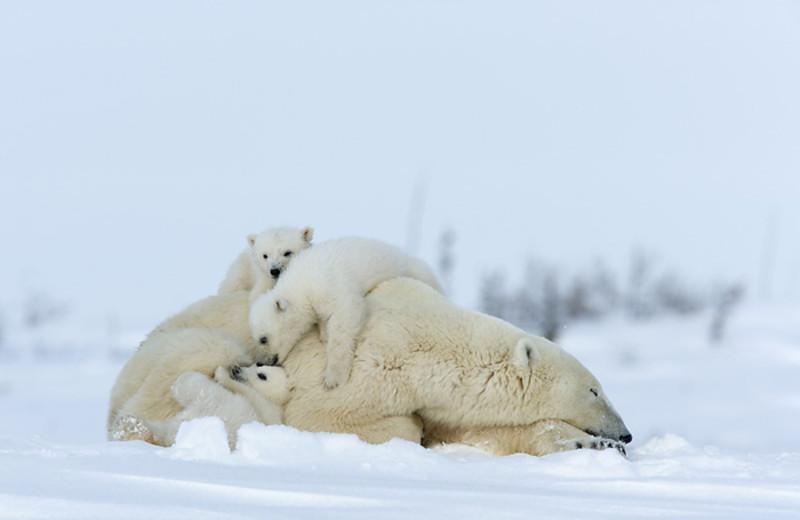 Polar bears at Wat'chee Lodge.