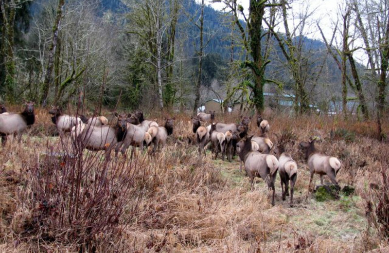 Elk herd at Rain Forest Resort.