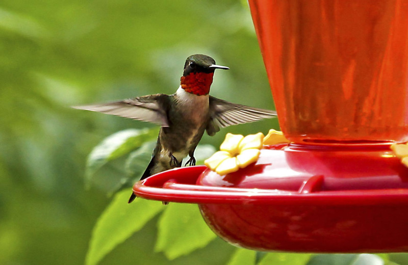 Hummingbird at Pine Terrace Resort.