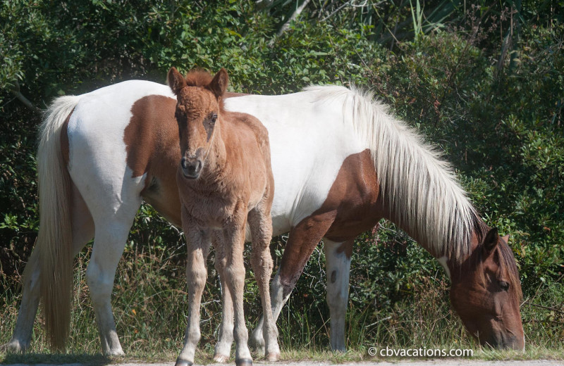 Wild horses at CBVacations.com