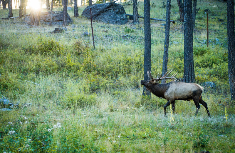 Elk at Averill's Flathead Lake Lodge.