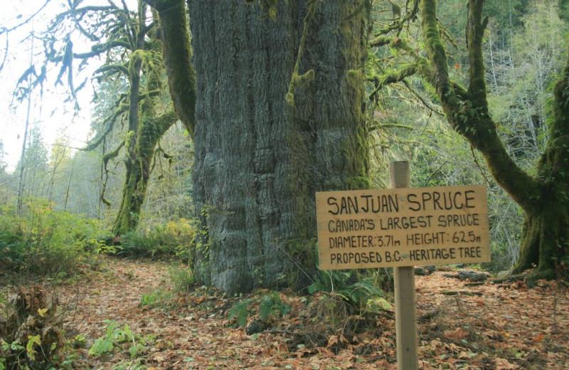 Canada's largest spruce tree near Honeymoon Bay Lodge & Retreat.