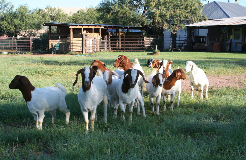 Goats at CP Ranch Bed and Breakfast.