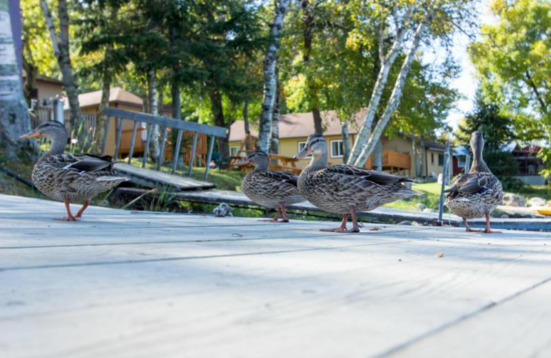 Ducks at Krueger's Harmony Beach Resort.