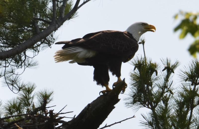 Eagle at Eagle Ridge Resort.